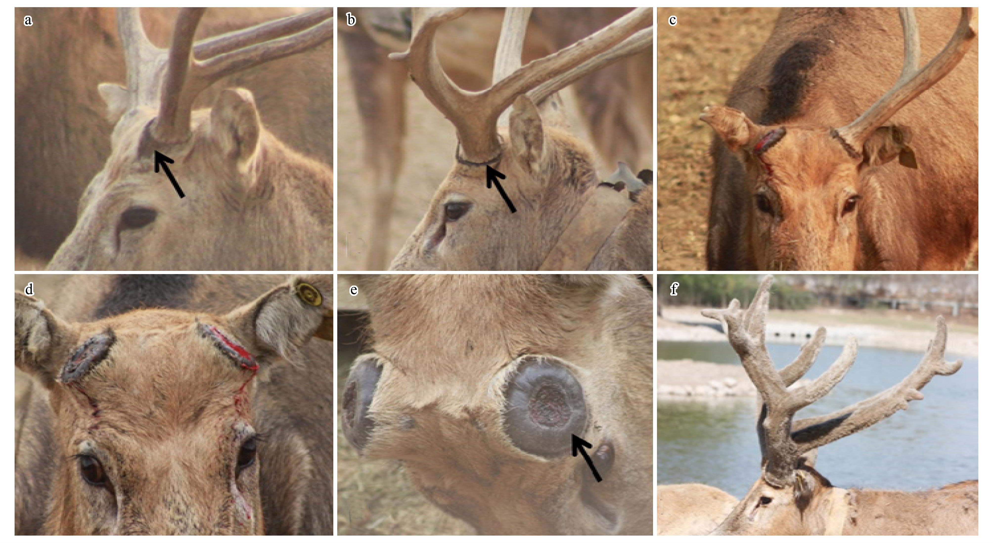 摘要: 2013年8月至2014年8月,使用望远镜(SWAROVSKI 8×42 WB)和照相机(Canon 550D 70×300)观察北京南海子59只雄性麋鹿茸的生长和角脱落周期,发现麋鹿角总体趋势呈随着年龄的减少,脱角日期越迟,且等级序位高或者鹿王较年老个体先脱落。收集2012年12月至2014年2月两年度麋鹿自然脱落的角,研究表明,个体而言,左右角脱角顺序差异明显,同一天脱落两角者占17.